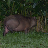 Capybara that leveled the cana lilies surrounding our outdoor shower one night.