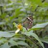 Clearwing Butterfly, Las Tarrales.