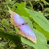 Morpho butterfly, Los Tarrales, Guatemala 2005