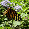 Tiger Long Wing Butterfly.