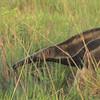 Giant Anteater.