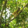 Common Squirrel Monkey (Saimiri sciureus) at Tingana Reserve near Moyabamba