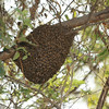 Bee swarm at Chappari Reserve.