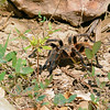 Tarantula at our lodge in Chappari Reserve.