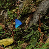Morpho Butterfly at La Esperanza