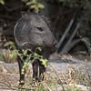 Orphaned Javelina that was raised at Chappari Reserve.