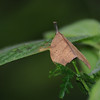 Strange leaf mimic moth that even had antennae that appeared to be a leaf stem.  Allpahuayo Reserve near Iquitos.