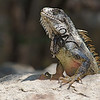 Iguana that came to inspect to see if there were any remains for him after lunch at the Chappari Reserve.