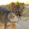 Sechuran fox (Lycalopex sechurae) at the Chappari Reserve.
