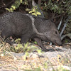 Orphaned Javelina that was raised at Chappari Reserve.
