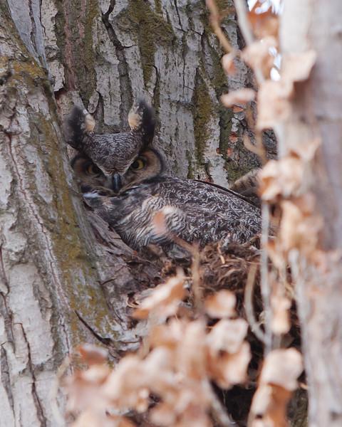 Chelan & Great Horned Owls - 2-2011