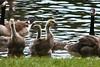 Ducks and geese in Henry Vilas Park