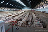 One of the pits of the Terra Cotta Warriors ... they have uncovered about 6,000 warriors which were made over 2,000 years ago. Most were broken when the emperor wa overthrown and they are going through all the pieces putting them back together.
