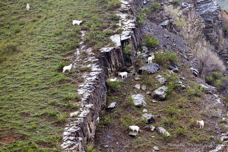 Everywhere you looked there were goats on the mountainside.