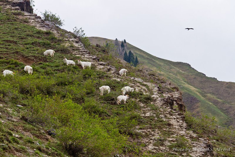 More goats along with a hawk that kept circling us, even when we were climbing the mountain. Maybe it was waiting for someone to fall.