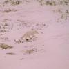 39 Artic Fox