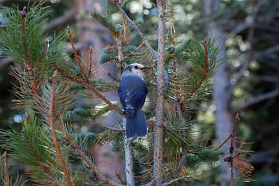 Cute little gray jay!