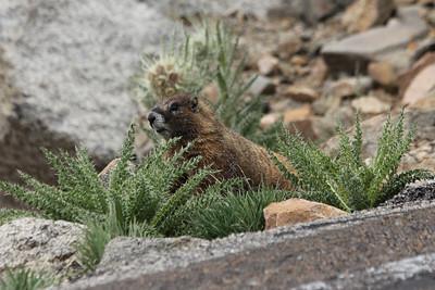 July 9, 2012 (Mount Evans [Summit Lake] / Idaho Springs, Clear Creek County, Colorado) -- Marmot