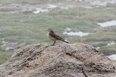 July 9, 2012 (Mount Evans [from road near the summit] / Idaho Springs, Clear Creek County, Colorado) -- American Pipit