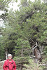 July 9, 2012 (Mount Evans [Bristlecone Pine trail] / Idaho Springs, Clear Creek County, Colorado) -- Mary Anne in foreground of Bristlecone Pine trees