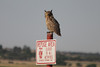 July 7, 2012 (Cheyenne Bottoms Wildlife Area [above canal] / Great Bend, Barton County, Kansas) -- Great Horned Owl atop a refuge sign [very close]
