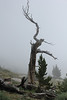 July 9, 2012 (Mount Evans [Bristlecone Pine trail] / Idaho Springs, Clear Creek County, Colorado) -- Clouds coming in behind Bristlecone Pine tree