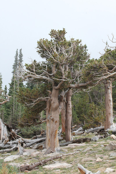 July 9, 2012 (Mount Evans [Bristlecone Pine trail] / Idaho Springs, Clear Creek County, Colorado) -- Bristlecone Pine trees