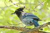 July 11, 2012 (Hanging Lake [at the lake] / Glenwood Springs, Garfield County, Colorado) -- Stellar's Jay