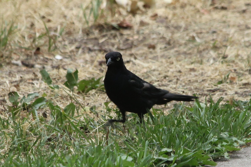 July 11, 2012 (Veltus Park [on park grass] / Glenwood Springs, Garfield County, Colorado) -- Brewer's Blackbird