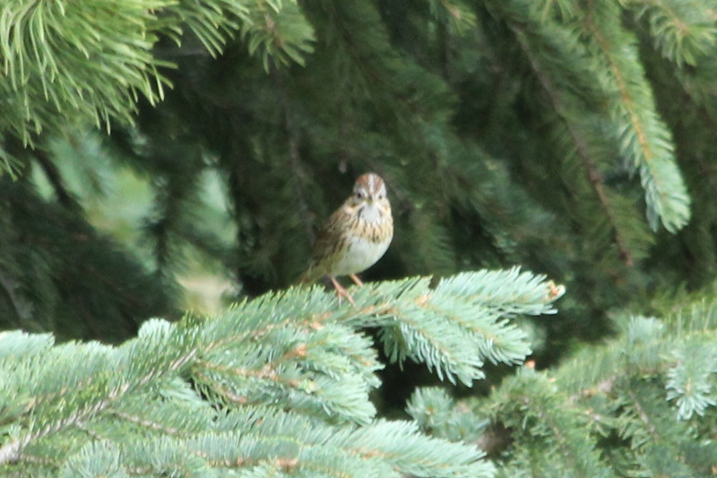 July 8, 2012 (Vail Mountain [from Berry Picker Trail] / Vail, Eagle County, Colorado) -- a very noisy Lincoln's Sparrow