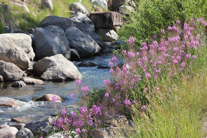 July 12, 2012 (Gore Creek [edge] / Vail, Eagle County, Colorado) -- Fireweed