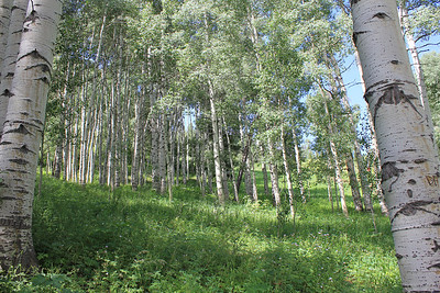 July 8, 2012 (Vail Mountain [from Berry Picker Trail] / Vail, Eagle County, Colorado) -- a grove of Aspens, before we climbed above the Aspen's