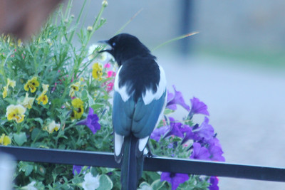 July 9, 2012 (Vail [Lionshead] / Vail, Eagle County, Colorado) -- Black-billed Magpie