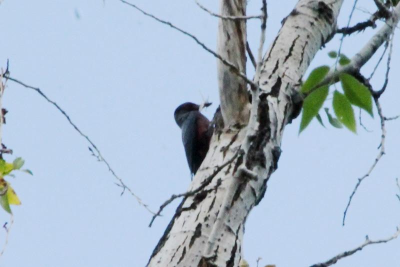 July 11, 2012 (Veltus Park [on park tree] / Glenwood Springs, Garfield County, Colorado) -- Lewis's Woodpecker