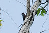 July 11, 2012 (Veltus Park [on park tree] / Glenwood Springs, Garfield County, Colorado) -- Lewis's Woodpecker