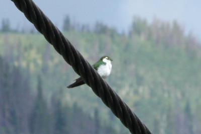 July 8, 2012 (Vail Mountain [on aerial tram cable] / Vail, Eagle County, Colorado) -- Violet-green Swallow [the most abundant bird seen in Vail thus far]