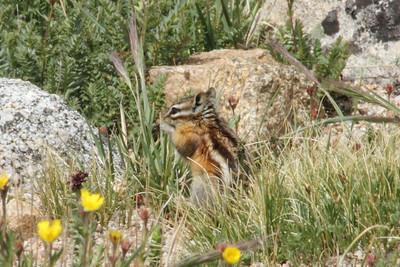 July 9, 2012 (Mount Evans [Summit Lake trail] / Idaho Springs, Clear Creek County, Colorado) -- Rocky Mountain Chipmunk