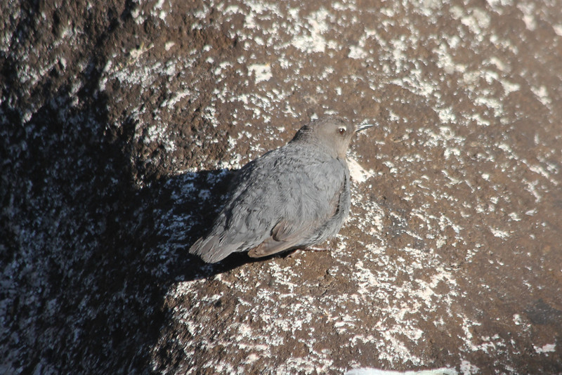 July 12, 2012 (Gore Creek [on rock in the middle] / Vail, Eagle County, Colorado) -- American Dipper