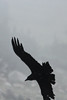 July 9, 2012 (Mount Evans [Bristlecone Pine trail] / Idaho Springs, Clear Creek County, Colorado) -- Common Raven in low clouds