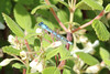 July 9, 2012 (Mount Evans [Echo Lake] / Idaho Springs, Clear Creek County, Colorado) -- Familiar Bluet Damselfly