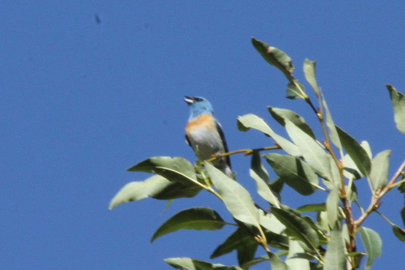 July 11, 2012 (Hanging Lake [near restrooms] / Glenwood Springs, Garfield County, Colorado) -- Lazuli Bunting
