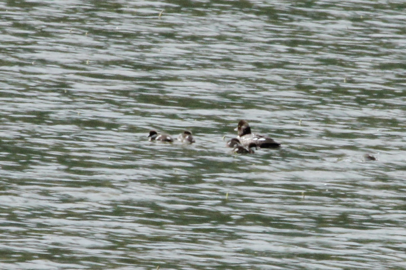 July 9, 2012 (Mount Evans [Echo Lake] / Idaho Springs, Clear Creek County, Colorado) -- Female Barrow's Goldeneye with six ducklings [not all ducklings pictured]