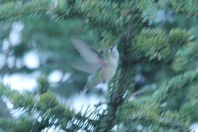 July 9, 2012 (Gore Creek [at tree over water] / Vail, Eagle County, Colorado) -- Broad-tailed Hummingbird