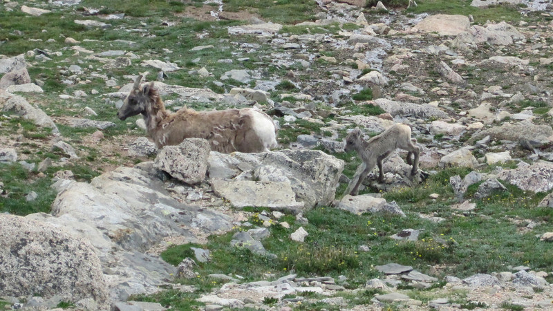 July 9, 2012 (Mount Evans [from road near the summit] / Idaho Springs, Clear Creek County, Colorado) -- Mountain Goat with kid goat