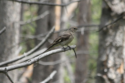 July 8, 2012 (Vail Mountain [from Berry Picker Trail] / Vail, Eagle County, Colorado) -- Townsend's Solitatire