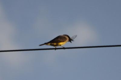 July 7, 2012 (Cheyenne Bottoms Inn / Hoisington, Barton County, Kansas) -- Western Kingbird with breakfast