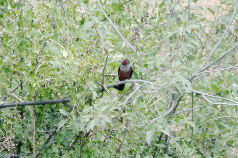 July 11, 2012 (Veltus Park [other side of Colorado River] / Glenwood Springs, Garfield County, Colorado) -- Lewis's Woodpecker
