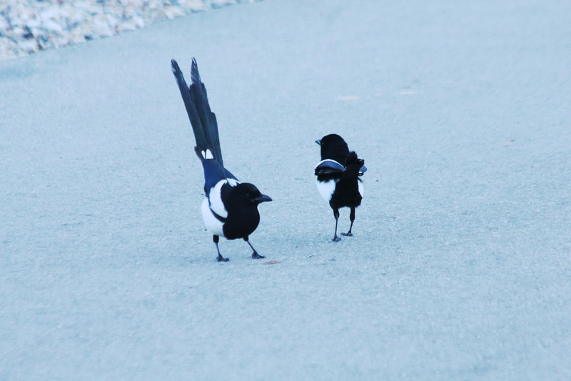 July 9, 2012 (Vail [Lionshead] / Vail, Eagle County, Colorado) -- Adult Black-billed Magpie with juvenile
