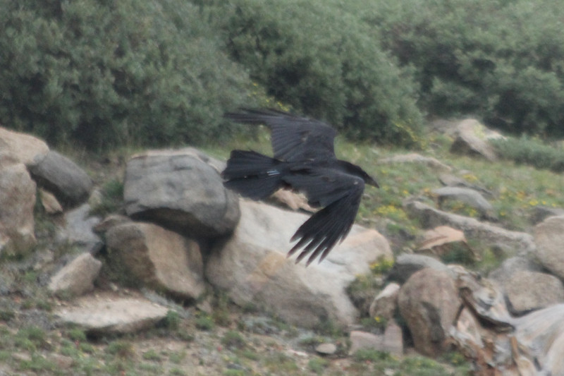 July 9, 2012 (Mount Evans [Bristlecone Pine trail] / Idaho Springs, Clear Creek County, Colorado) -- Common Raven