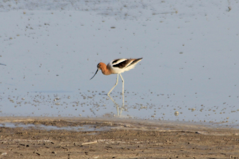 July 6, 2012 (Quivira National Wildlife Refuge [Little Salt Marsh] / Great Bend, Stafford County, Kansas) -- American Avocet